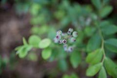 Голубики Стоковые Фотографии RF