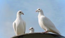голуби белые Стоковые Фотографии RF