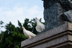 голуби белые Стоковые Фото