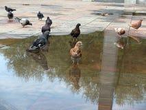 Голуби в городской площади после дождя Стоковые Изображения