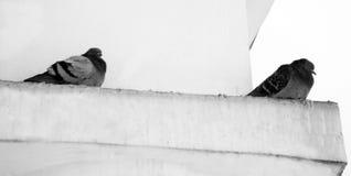 Голуби в зиме, птицы ждать еду внутри стоковая фотография rf