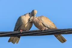 Голуби в игре влюбленности Стоковые Изображения RF