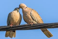 Голуби в игре влюбленности Стоковая Фотография