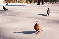 Голуби в парке Стоковое Фото
