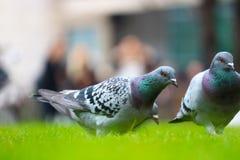 Голуби в парке Стоковое фото RF