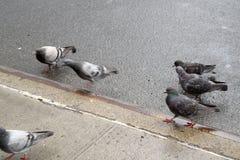 Голуби в Таймс площадь в Манхаттане Стоковое Изображение RF