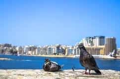 Голуби в Sliema, Мальте стоковое изображение