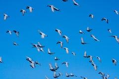 Голуби (голуби) летая в голубое небо. Стоковое Изображение