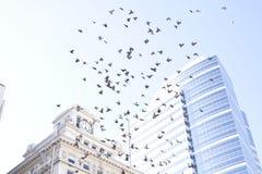 Голуби летания, витая через небо в Портленде Стоковые Изображения