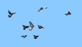 Голуби летания стоковые изображения