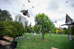 Голуби летают врозь в парк города Стоковая Фотография