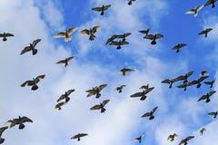 Голуби летают против предпосылки голубого неба Стоковые Фото