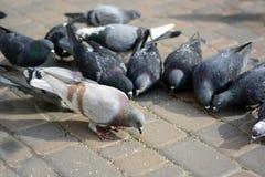 Голуби едят на камне в парке Стоковая Фотография