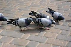 Голуби едят на камне в парке Стоковые Изображения RF