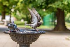 Голуби и зеленый попугай выпивая и купая в founta птицы Стоковые Изображения RF