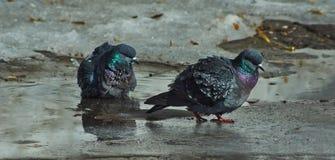 Голуби купают в бассейнах meltwater стоковое фото rf