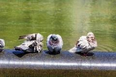 Голуби купая в фонтане Стоковые Фото