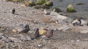 Голуби на береге Чёрного моря, муха и едят сток-видео