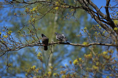 Голуби на ветви Стоковое Изображение RF