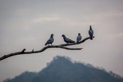Голуби на дереве Стоковое Изображение RF