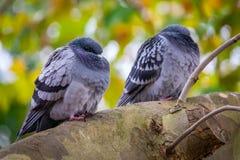 Голуби на дереве Стоковое Фото
