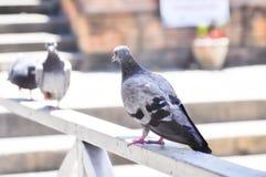 Голуби на загородке Стоковая Фотография