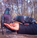 Голуби на руке Стоковые Изображения RF