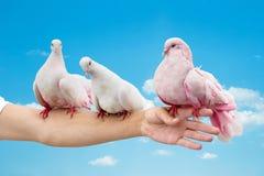 Голуби на руке Стоковая Фотография