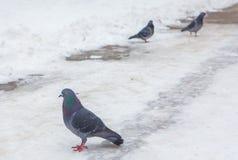 Голуби на снеге Стоковое фото RF