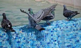Голуби на стороне бассейна стоковая фотография rf