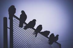 Голуби на стробе Стоковые Фотографии RF
