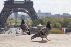Голуби на уступе перед Эйфелева башней Стоковые Изображения