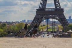 Голуби на уступе перед Эйфелева башней Стоковое фото RF