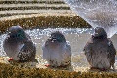 Голуби на фонтане Стоковые Изображения RF