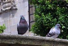 Голуби отдыхая в парке Стоковое Фото
