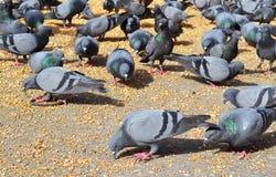 Голуби подавая, Джайпур Раджастхан Индия вороны стоковые изображения rf