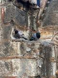 Голуби садясь на насест на византийской каменной стене Стоковое Фото