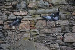 Голуби сидят на проекциях каменной стены Стоковое Фото