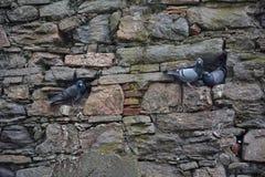 Голуби сидят на проекциях каменной стены Стоковая Фотография