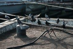 Голуби сидя на веревочке в порте Стоковое Изображение RF