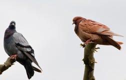 Голуби сидя на ветви дерева Стоковая Фотография