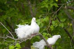 голуби спаривают белизну Стоковое фото RF