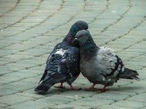 Голуби утеса в парке во время брачного периода Стоковое Фото