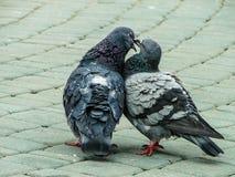 Голуби утеса в парке во время брачного периода Стоковые Изображения