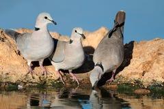 Голуби черепахи накидки Стоковая Фотография RF