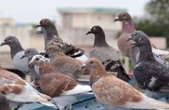 голуби Стоковые Фото