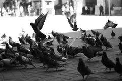 голуби Стоковые Изображения RF