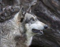 Голубоглазая съемка головы волка Стоковые Фото