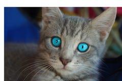 Голубоглазый котенок Стоковое Изображение RF