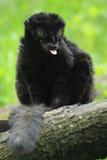 Голубоглазый черный лемур Стоковые Изображения RF